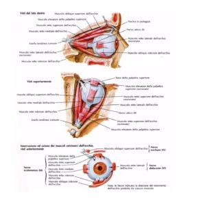 muscolioculari2